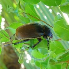 Large beetle, Puerto Viejo