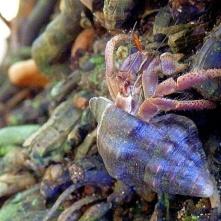 Hermit crab at Manzanillo beach