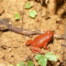 Poison-arrow frog (Giftpfeilfrosch)