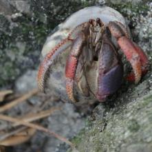 Hermit Crab ( Einsiedlerkrebs )