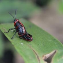 Grasshopper, Puerto Viejo