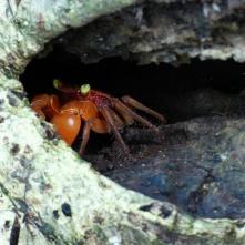 Crab, Cahuita National Park