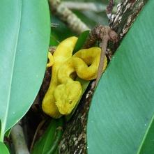Eyelash viper, Cahuita National Park Greifschwanz Lanzenotter