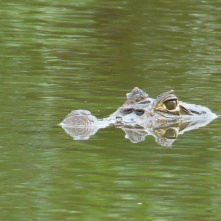 Caiman or crocodile at Cahuita National Park