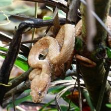 Eyelash viper, Cahuita National Park