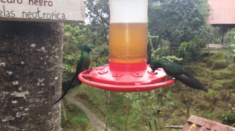 Hummingbirds, (Kolibri)Cocora National Park
