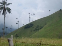 Wax palm trees, Cocora National Park