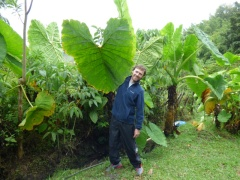 Big leaf, Manizales