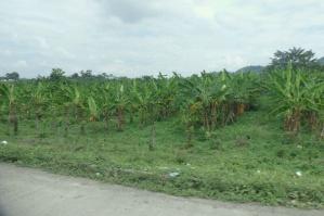 Banana plantations