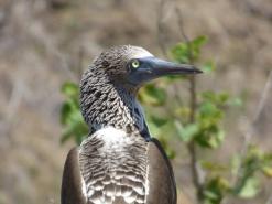 Blue-footed booby (Blaufusstoelpel), Isla de la Plata