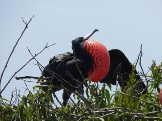 Frigatebird (Fregattvogel), Isla de la Plata