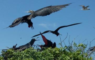 Frigatebirds (Fregattvoegel), Isla de la Plata