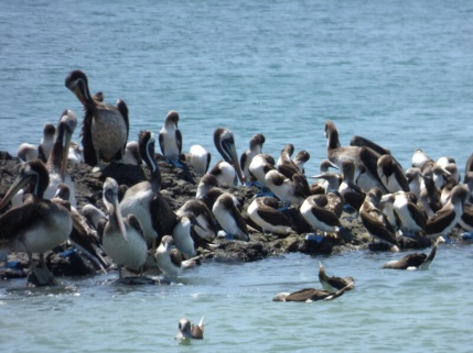 Pelicans and Blue footed boobies (Blaufusstoelpel), Isla de la Plata