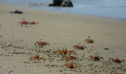 Crabs at Isla de la Plata