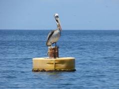 Pelican, Isla de la Plata