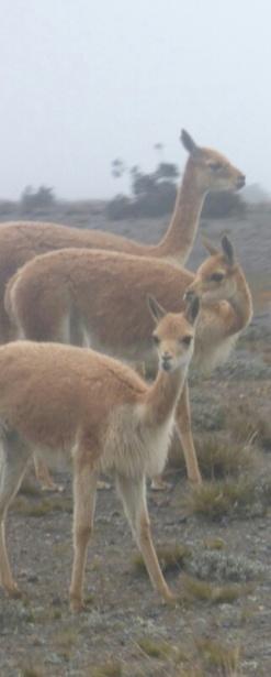 Vicunias at Chimborazo Vulcano