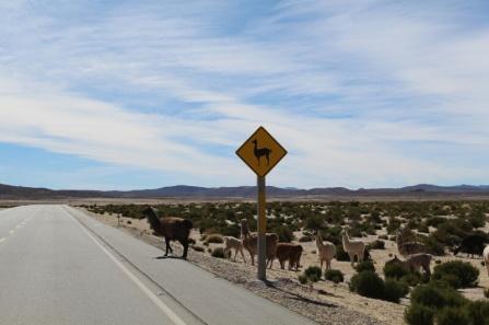 Vicugnas crossing